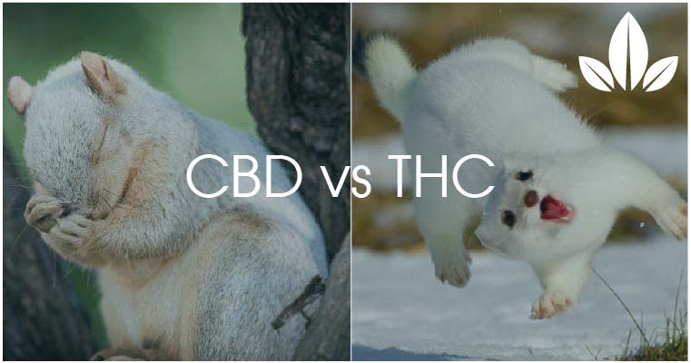 differences CBD vs THC