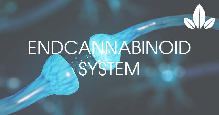 how works endocannabinoid system