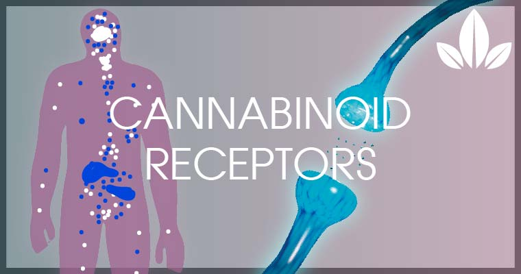 Cannabinoid receptors in human body