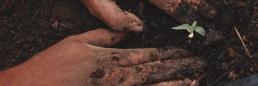 plantando semillas CBD